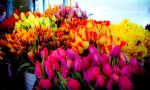 Tulips, Pike Place Market - Seattle, Washington