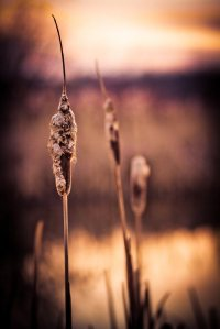 Cattails - Fort Vermilion North Settlement 8