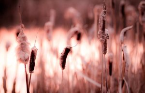Cattails - Fort Vermilion North Settlement 10