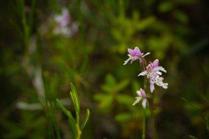 Flower 3 - Alexandra Falls, Northwest Territories