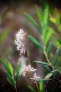 Flower - Alexandra Falls, Northwest Territories