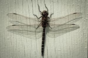 1 Dragonfly - High Level, Alberta