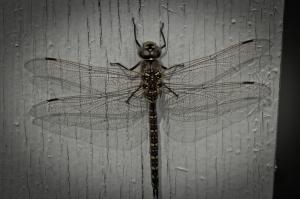 4 Dragonfly - High Level, Alberta