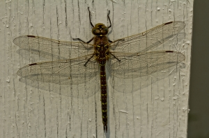 5 Dragonfly - High Level, Alberta