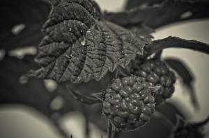 5 Raspberries - High Level, Alberta