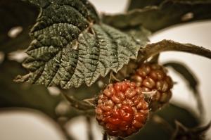 4 Raspberries - High Level, Alberta