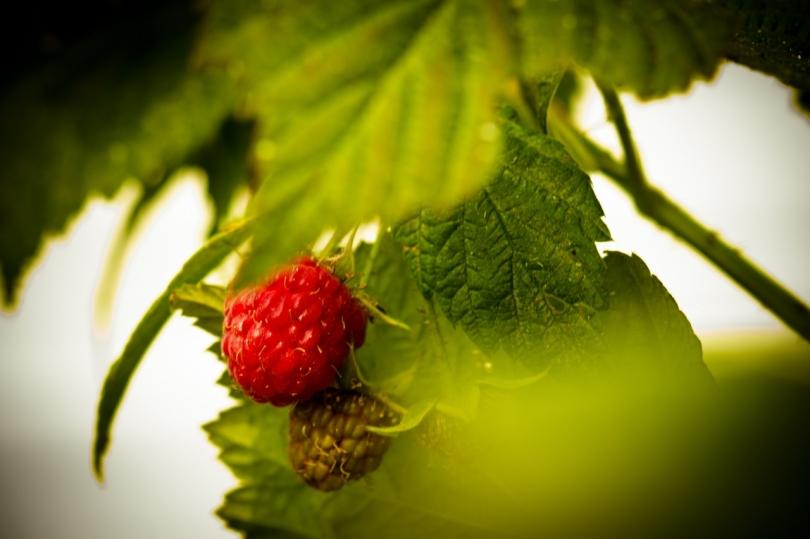 3 Raspberries - High Level, Alberta