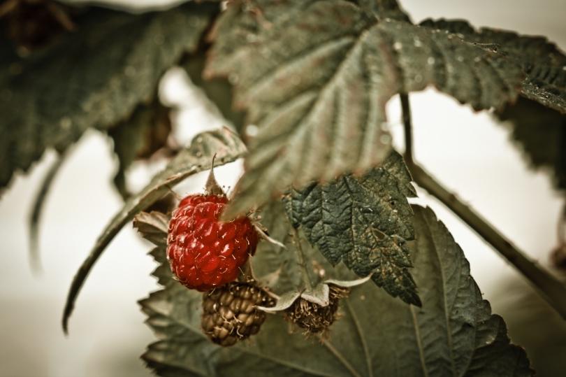 2 Raspberries - High Level, Alberta