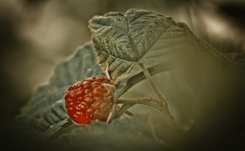 1 Raspberries - High Level, Alberta