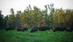 Bison - Elk Island National Park 2