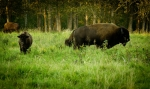 Bison - Elk Island National Park 5