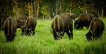 Bison - Elk Island National Park 6
