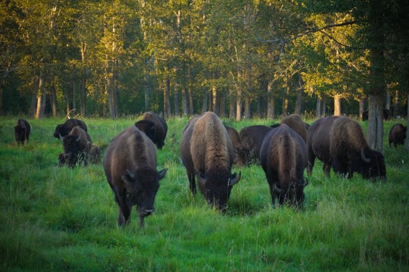 Bison - Elk Island National Park 9