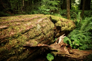 Fallen Timber 2 - Cathedral Grove, British Columbia