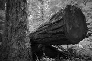 Fallen Timber 1 - Cathedral Grove, British Columbia