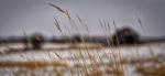 Winter Grain 1