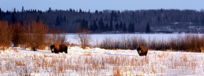 Bison - Elk Island 1