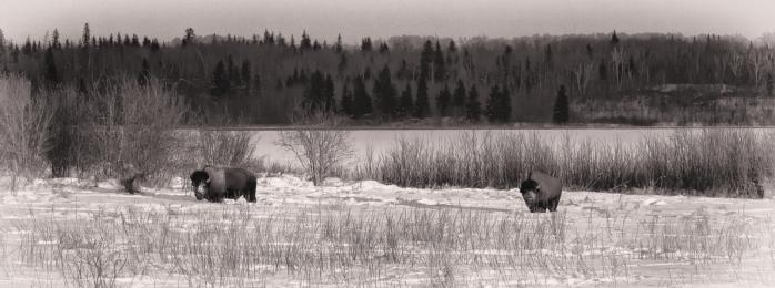 Bison - Elk Island 2