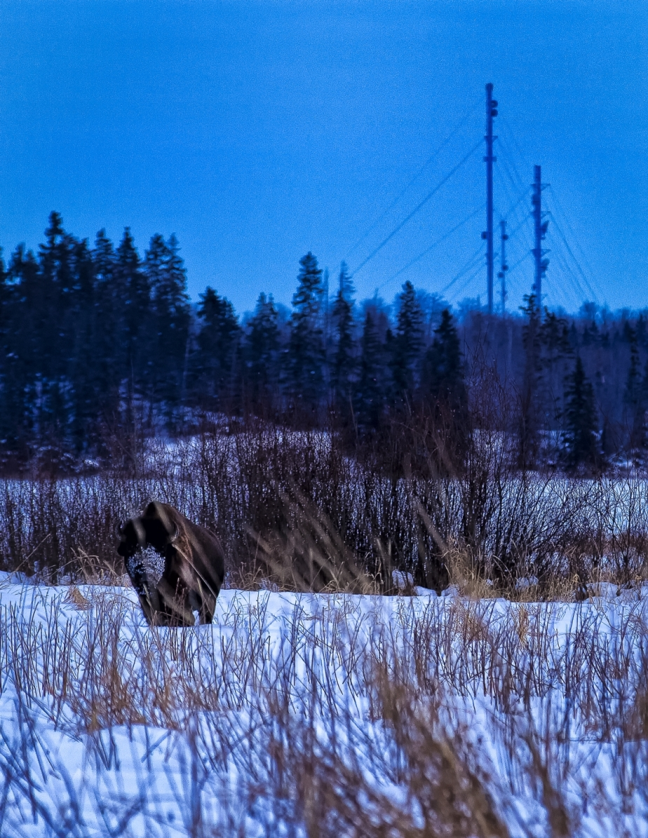 Bison - Elk Island 3