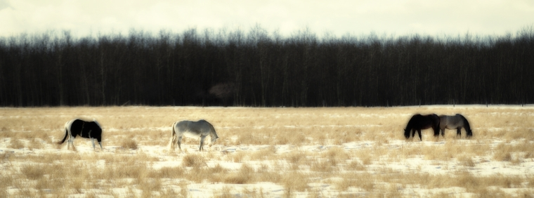 Fairview Horses, Fairview, Alberta 1