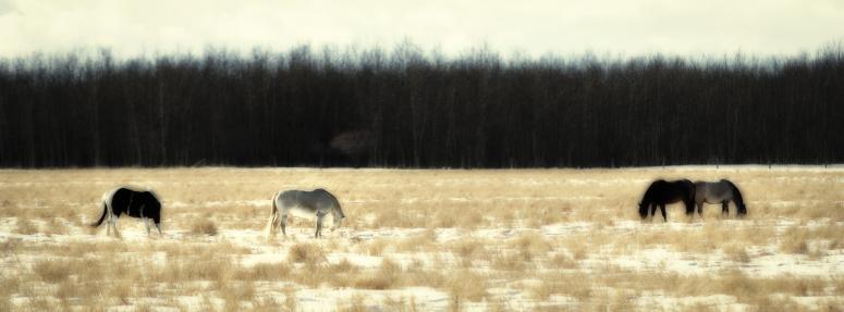 Fairview Horses, Fairview, Alberta 1