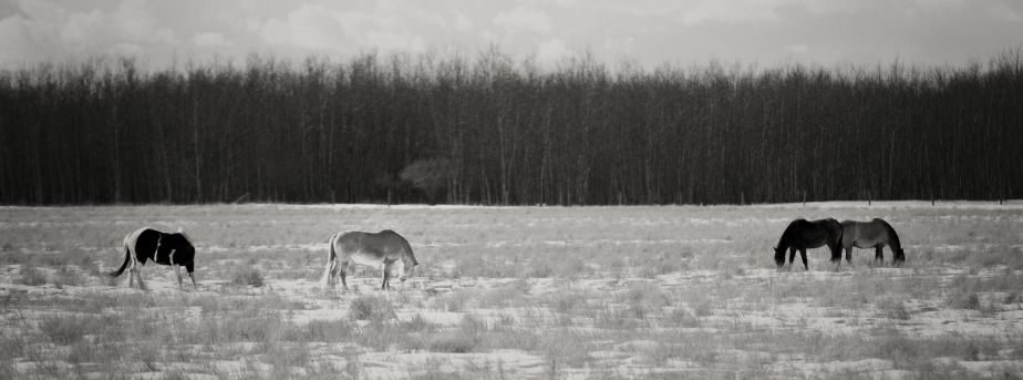 Fairview Horses, Fairview, Alberta 2