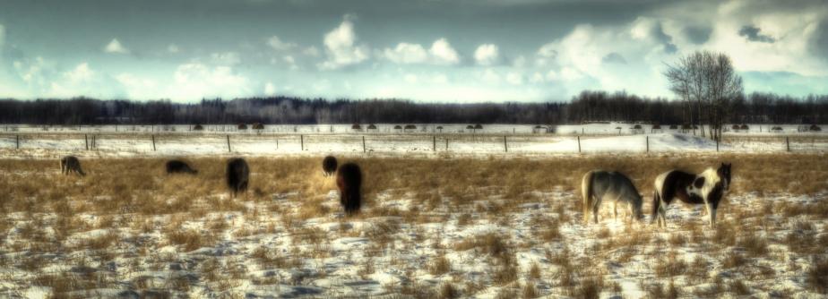 Fairview Horses, Fairview, Alberta 3