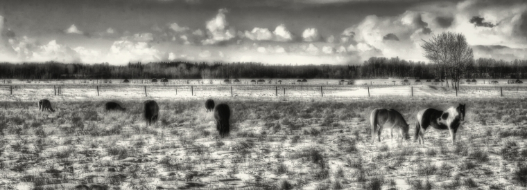 Fairview Horses, Fairview, Alberta 4