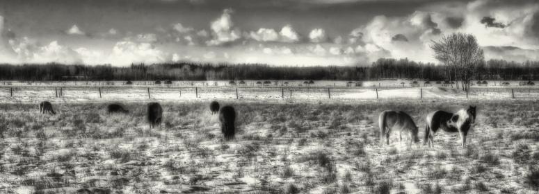 Fairview Horses, Fairview, Alberta 4