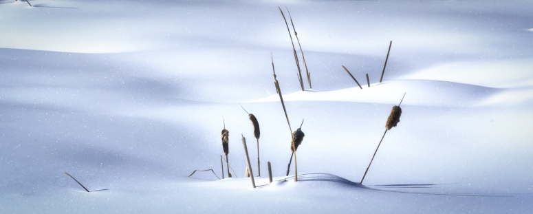 Cattails and Snow, High Level, Alberta 1