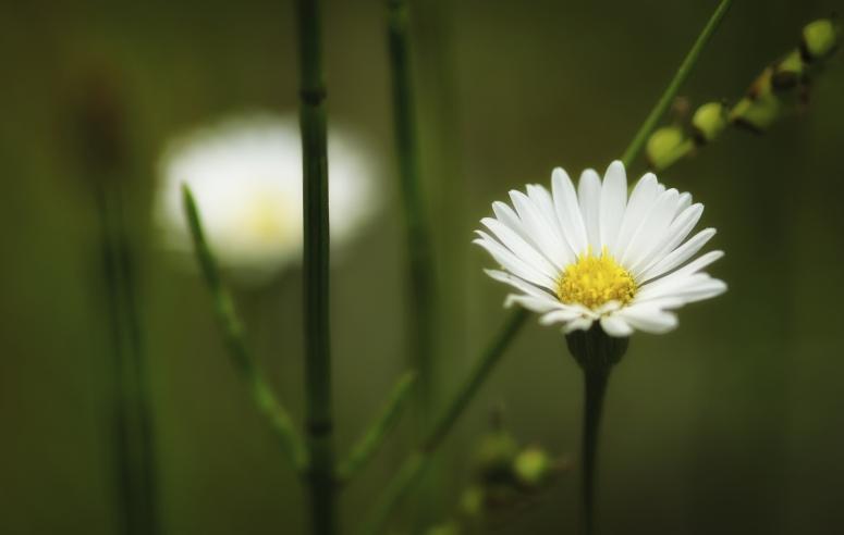 Daisy ... or Daisy-Look-a-like