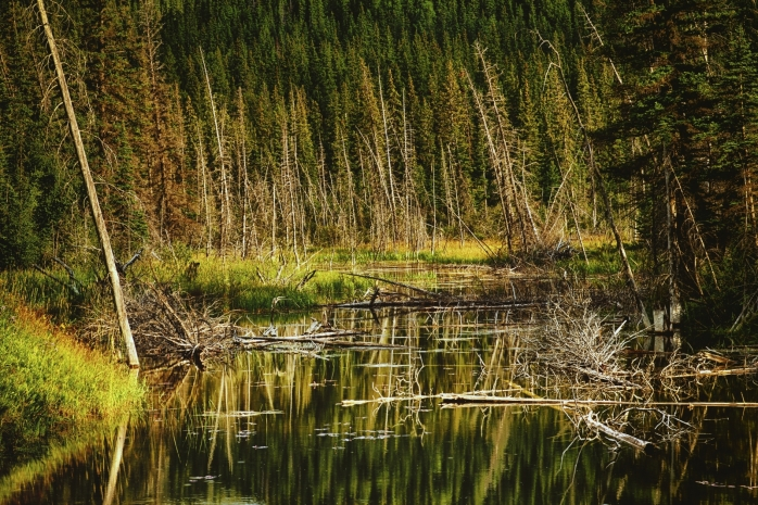 Wooded Reflection - Jasper, Alberta 1