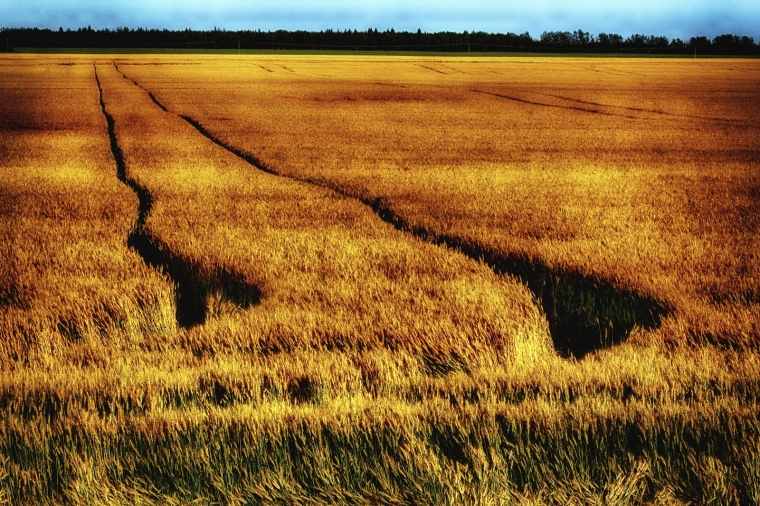 Grain Field - Donnelly, Alberta