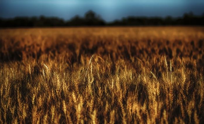 Harvest - Nampa, Alberta 1