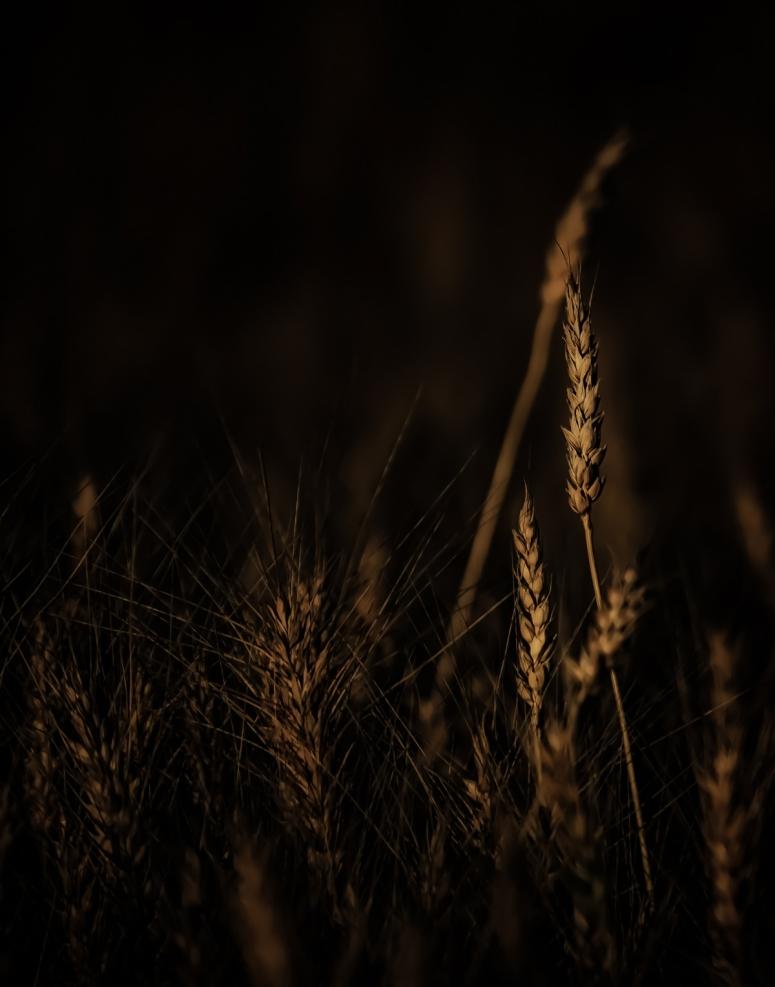 Autumn Gold - Donnelly, Alberta