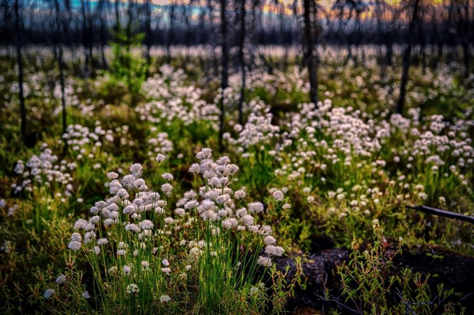 Muskeg Flowers - Lesser Slave Lake, Alberta 1
