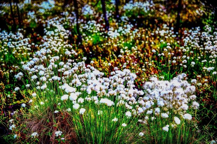 Muskeg Flowers - Lesser Slave Lake, Alberta 2