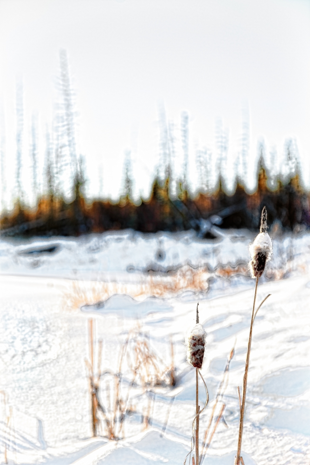 Cattails - Watt Mountain 1