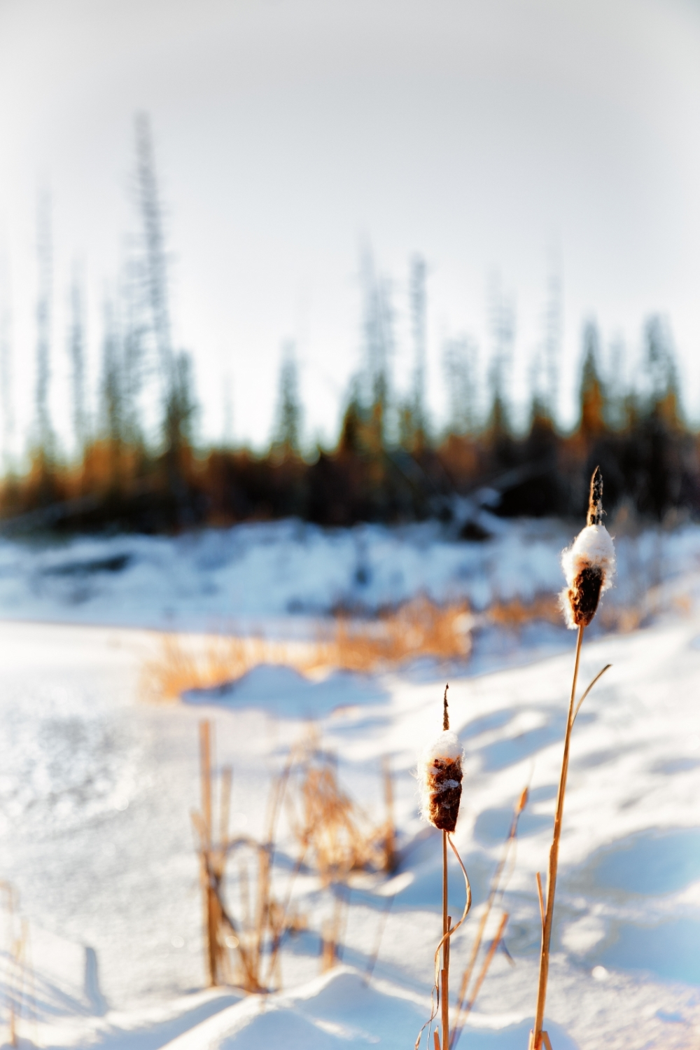 Cattails - Watt Mountain 2