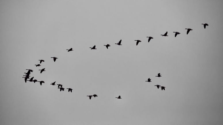 Canadian Geese - Flying South, Fairview, Alberta - Canada