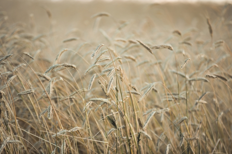 Foothill's Wheat - Rimbey, Alberta 1