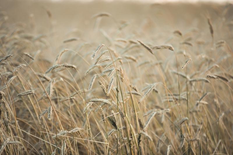 Foothill's Wheat - Rimbey, Alberta 1