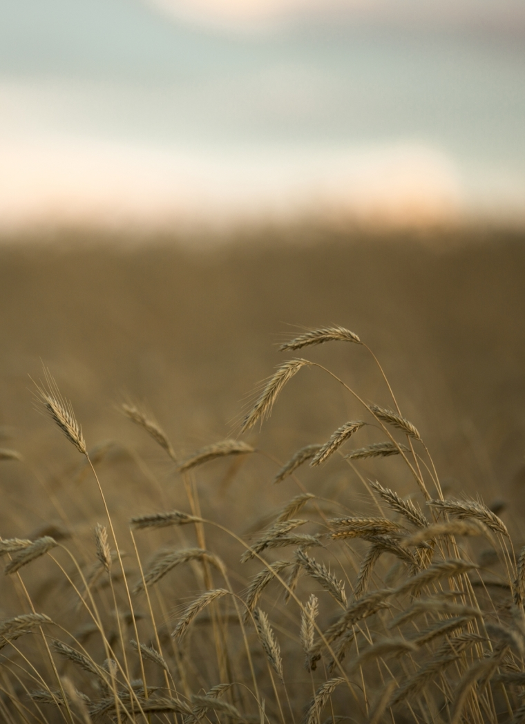 Foothill's Wheat - Rimbey, Alberta 2