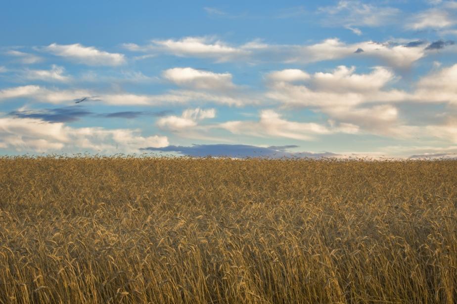 Foothill's Wheat - Rimbey, Alberta 3