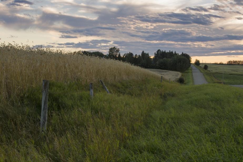 Foothill's Wheat - Rimbey, Alberta 4