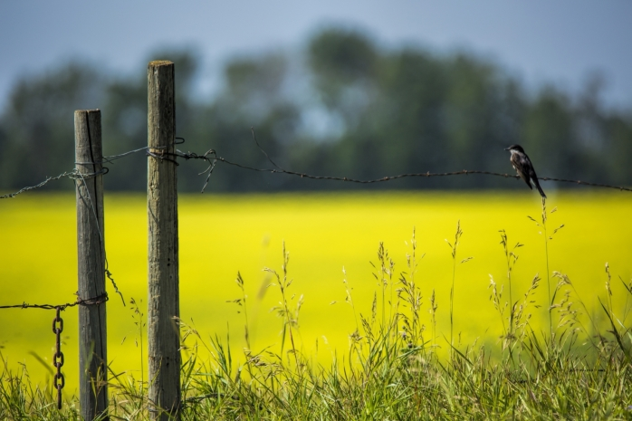 Bird and Canola Field - Hay Lakes, Alberta