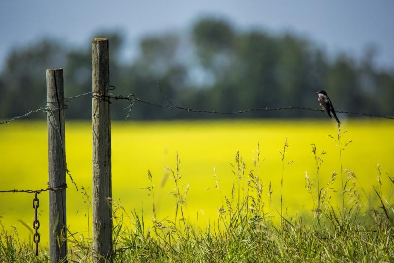 Bird and Canola Field - Hay Lakes, Alberta