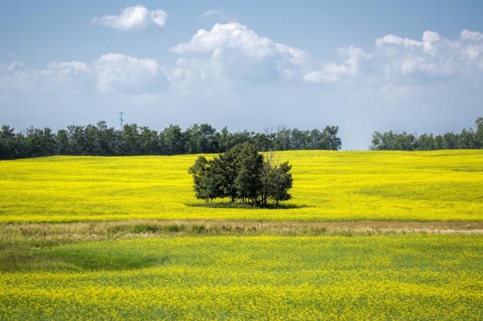 Canola Field - Hay Lakes, Alberta