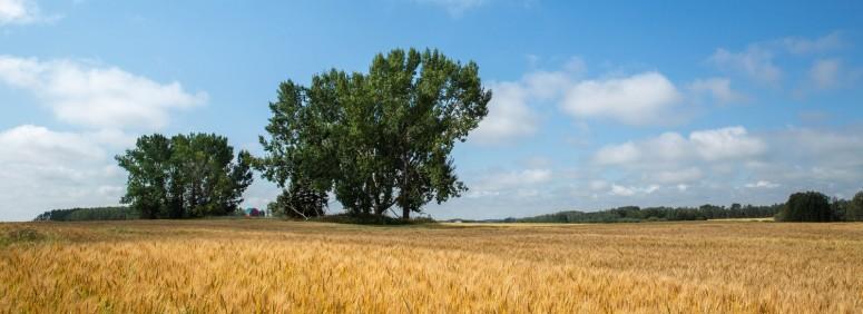 August Grain Fields - Alberta