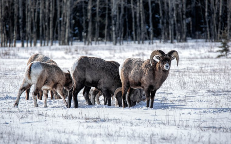 Near Abraham Lake – Winter Grazing – 1